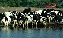 Special Genetically Engineered Cows Could Be End to Mad Cow Disease – Bovine Spongiform Encephalitis BSE Not Found In Cattle