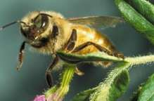 Honey Bees Are Dying – Researchers Say That Crops Could Be Affected By The Disease Or Poisoning – Cause Is Still Unknown