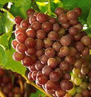 Grapes - Credit: USDA/Patrick Tregenza(photographer)