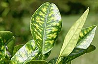 Citrus Greening changes leaves coloration - Credit: usda.gov (#D2259-1) Photo by Tim Gottwald PD